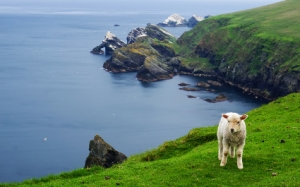 sheep-in-shetlands-425x265